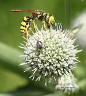 A crabronid wasp or beewolf foraging on a pineapple sea lily (Eryngium horridum) at the Morningsun Herb Farm, Vacaville, Calif. (Photo by Kathy Keatley Garvey)