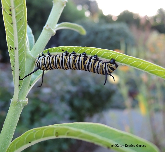 This monarch caterpillar, discovered Oct. 27, 2017 on milkweed in Vacaville, survived and hitched a ride to an overwintering site in Santa Cruz, thanks to