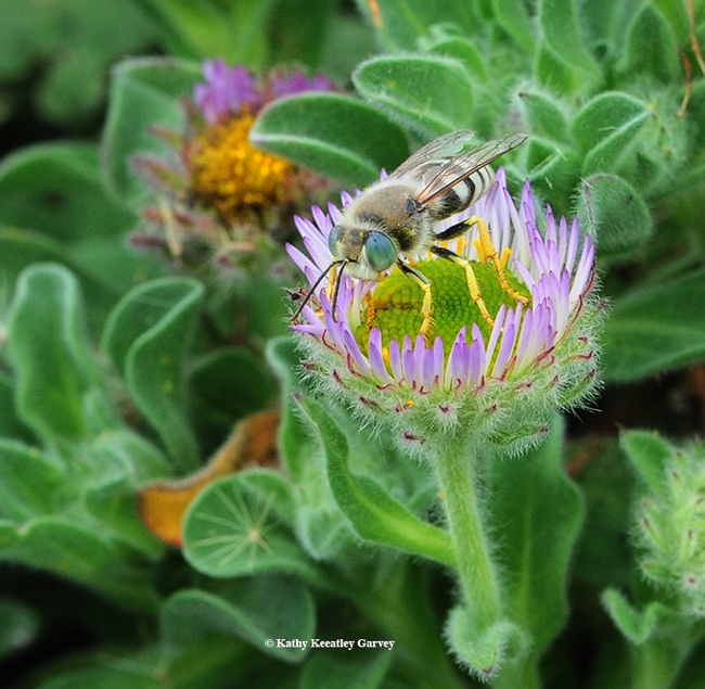 A sand wasp, Bembix americana, foraging on seaside daisies at Bodega Bay. (Photo by Kathy Keatley Garvey)