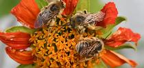 Longhorned bees--Melissodes (possibly M. robustior) slumbering on a Mexican sunflower. (Photo by Kathy Keatley Garvey) for Bug Squad Blog