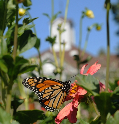 MONARCH BUTTERFLY in the Luther Burbank Gardens, Santa Rosa. One generation of monarch butterflies migrates 2000 miles between southern Canada and central Mexico, according to LiveScience senior writer Wynne Parry in her Nov. 4 post. (Photo by Kathy Keatley Garvey)