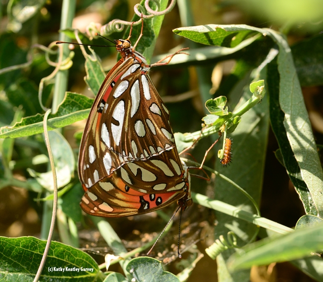 Gulf Fritillaries (Agraulis vanillae) on their host plant, Passiflora, doing what nature intended. At the far right is a Gulf Frit caterpillar. (Photo by Kathy Keatley Garvey)