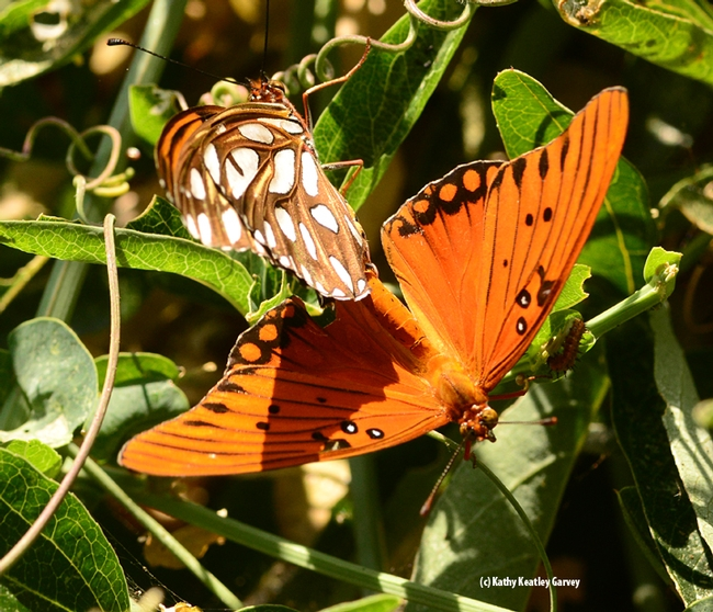 Photo Four: The coloring and contrast of the silver-spangled and reddish-orange wings make it one of the showiest butterflies in California. (Photo by Kathy Keatley Garvey)