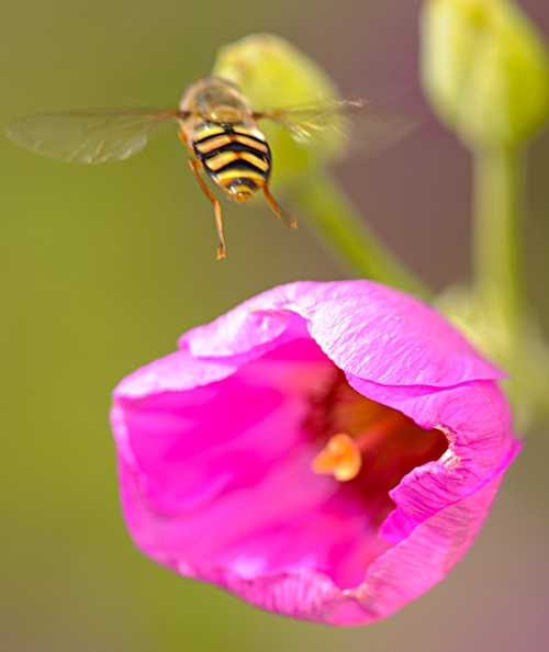 TAKING FLIGHT, a syrphid leaves its host. (Photo by Kathy Keatley Garvey)