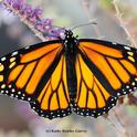 A female monarch butterfly nectaring in a Vacaville pollinator garden. (Photo by Kathy Keatley Garvey)