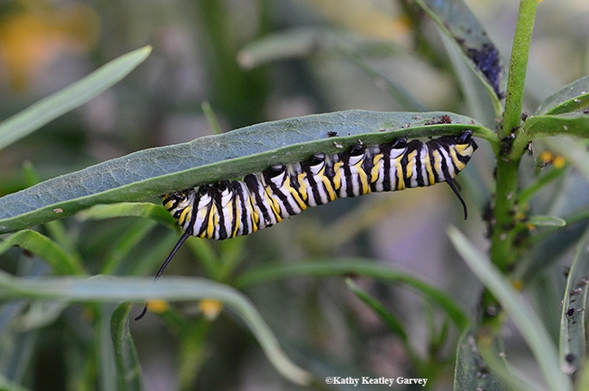 The long and short of it--a monarch caterpillar crawls on a stem to its next dining spot. (Photo by Kathy Keatley Garvey)