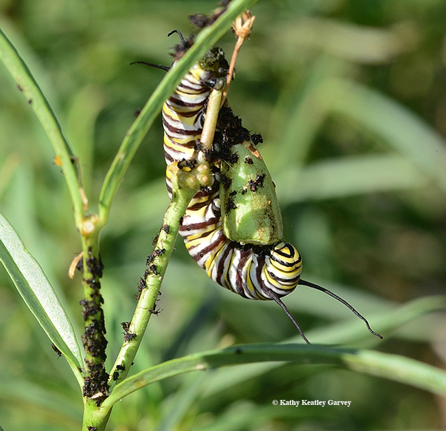 Even seed pods are fair game for hungry monarch caterpillars. (Photo by Kathy Keatley Garvey)