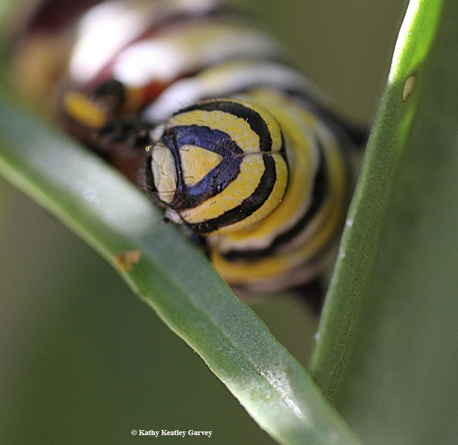 Close-up of a monarch caterpillar, taken with a Canon MPE-65mm lens. (Photo by Kathy Keatley Garvey)