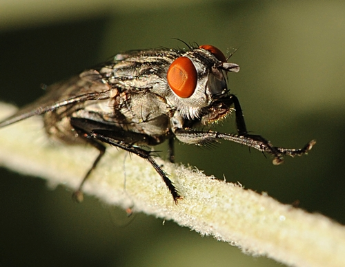 FLESH FLY (Sarcophagidae family) pauses to groom itself.  (Photo by Kathy Keatley Garvey)