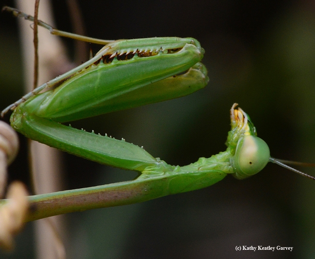 The male Stagmomomantis limbata lies in wait. (Photo by Kathy Keatley Garvey)