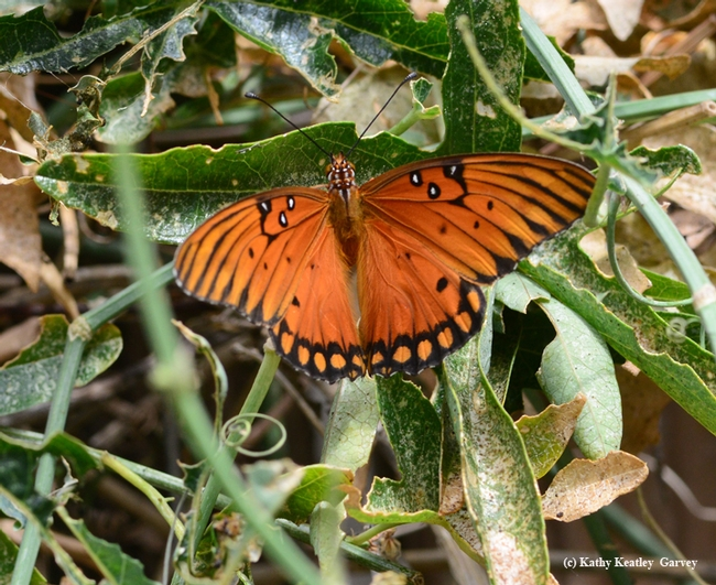 An intact Gulf Fritillary in the passionflower vine. (Photo by Kathy Keatley Garvey)