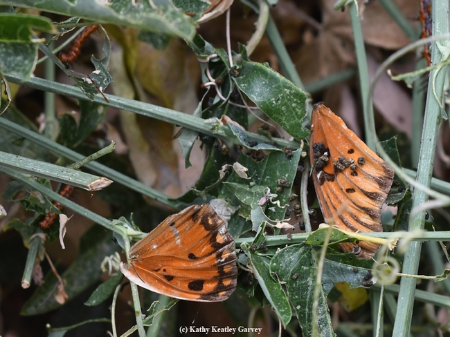 A not-so-intact Gulf Fritillary in the passionflower vine. (Photo by Kathy Keatley Garvey)