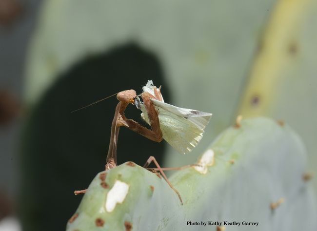 A praying mantis dining on a cabbage white butterfly. (Photo by Kathy Keatley Garvey)