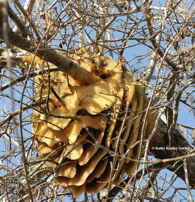 A feral honey bee colony is a work of art. (Photo by Kathy Keatley Garvey)