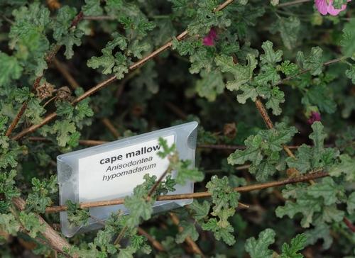 Cape Mallow