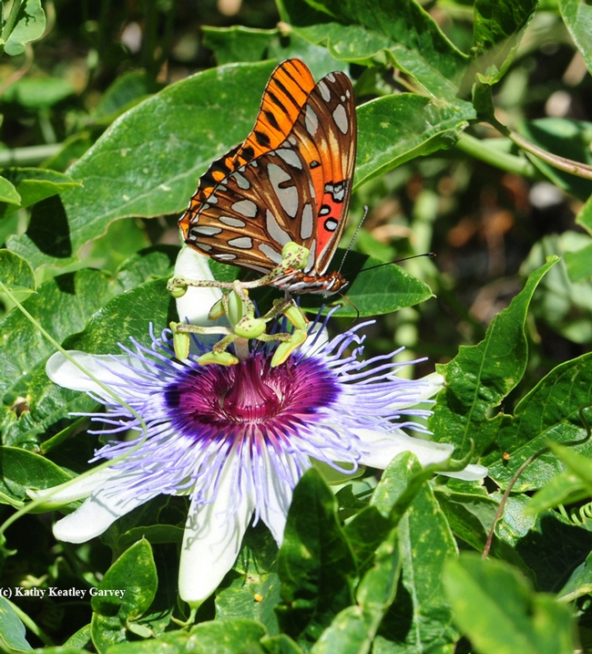 A Gulf Fritillary foraging on a lavender passionflower vine, genus Passiflora. This is the Gulf Frits' host plant, they lay their eggs only on Passiflora. (Photo by Kathy Keatley Garvey)