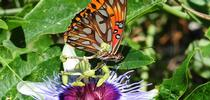 A Gulf Fritillary foraging on a lavender passionflower vine, genus Passiflora. This is the Gulf Frits' host plant, they lay their eggs only on Passiflora. (Photo by Kathy Keatley Garvey) for Bug Squad Blog