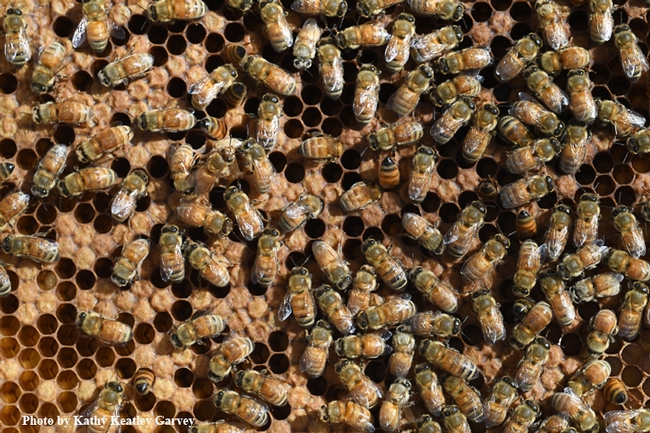 Honey bees, the most important pollinators, also produce honey. This image was taken at the Harry H. Laidlaw Jr. Honey Bee Research Facility at UC Davis. (Photo by Kathy Keatley Garvey)
