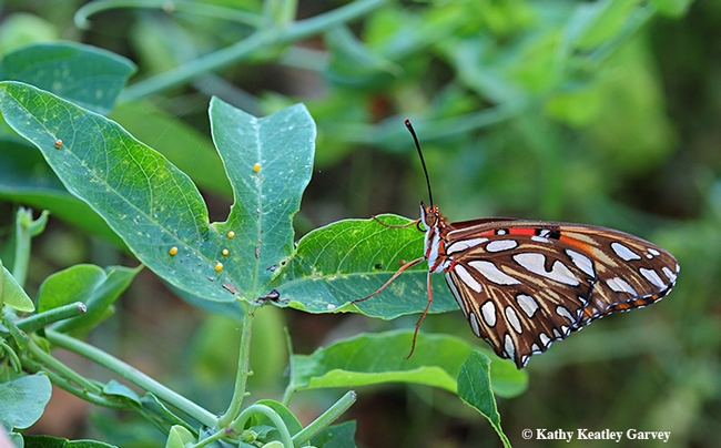 A Gulf Fritillary laying eggs on her host plant, passionflower vine. Note the eggs (yellow dots) on the left. (Photo by Kathy Keatley Garvey)