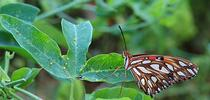A Gulf Fritillary laying eggs on her host plant, passionflower vine. Note the eggs (yellow dots) on the left. (Photo by Kathy Keatley Garvey) for Bug Squad Blog