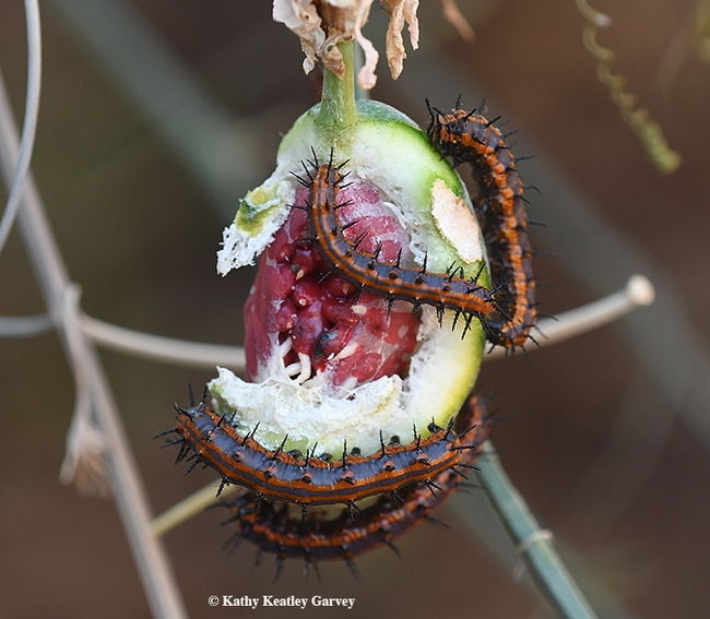 By fall, the only thing left on the passionflower vine is the fruit. The leaves are gone. The hungry caterpillars are like insect shredding machines. (Photo by Kathy Keatley Garvey)