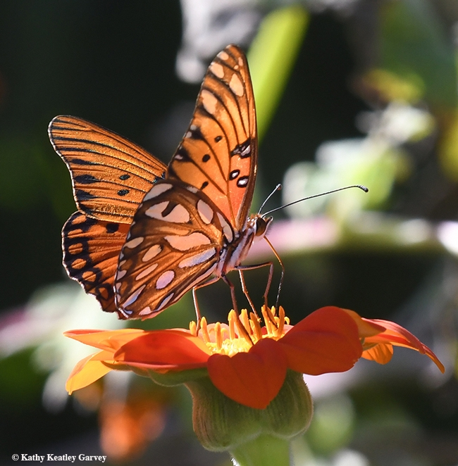 The end result: a Gulf Fritillary adult. This one is nectaring on a Mexican sunflower, Tithonia. (Photo by Kathy Keatley Garvey)