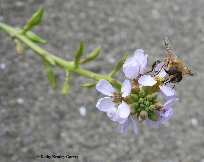 A syrphid or hover fly, Eristalis tenax, nectaring on a sea rocket plant, Cakile maritima, on Oct. 18 at Doran Regional Park Beach, Sonoma. (Photo by Kathy Keatley Garvey)