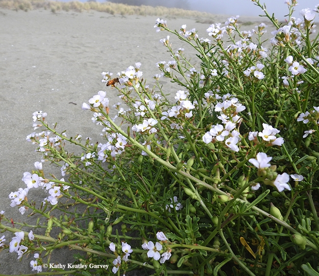 Along with sand castles and beach balls and beach umbrellas, look for pollinators nectaring on  sea rocket plants at the beach. Note the honey bee. (Photo by Kathy Keatley Garvey)