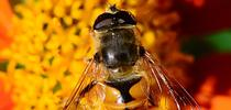Meet the drone fly (Eristalis tenax), often mistaken for a honey bee. Note the one set of wings, large eyes, stubby antennae and a distinguishing