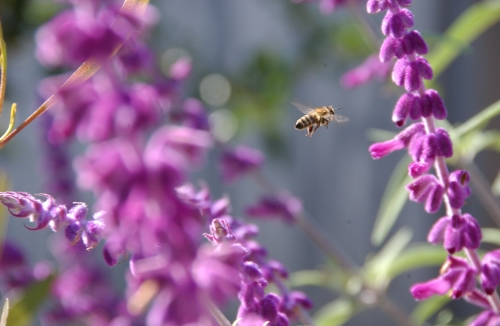 Flight of the honey bee; a worker bee buzzes through sage. (Photo by Kathy Keatley Garvey)