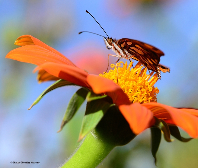 The Gulf Fritillary will soon be able to take flight. (Photo by Kathy Keatley Garvey)