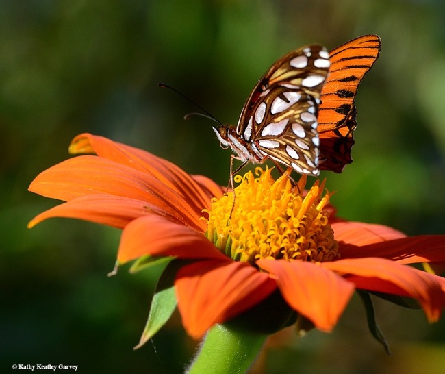 Not two butterflies; this is one, the Gulf Fritillary, Agraulis vanillae. (Photo by Kathy Keatley Garvey)