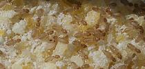 Booklice are nearly microscopic insects, Liposcelis bostrychophila, or