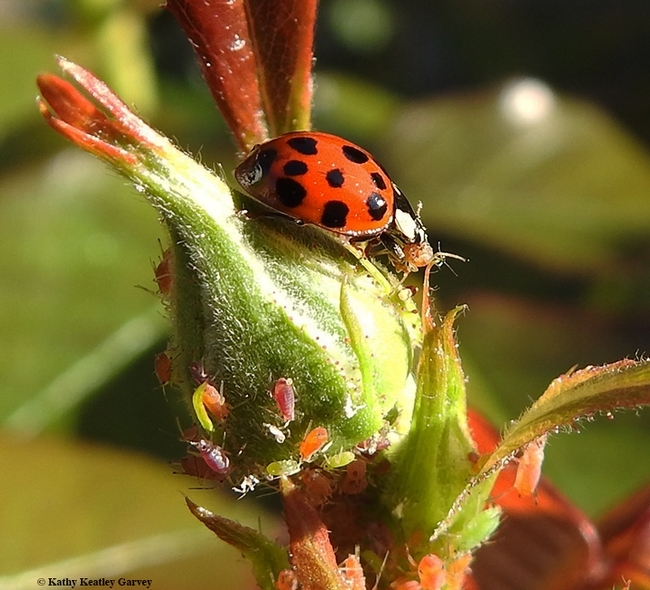 A lady beetle (aka ladybug) is a beneficial insect in the garden. It eats aphids and other soft-scale insects. (Photo by Kathy Keatley Garvey)