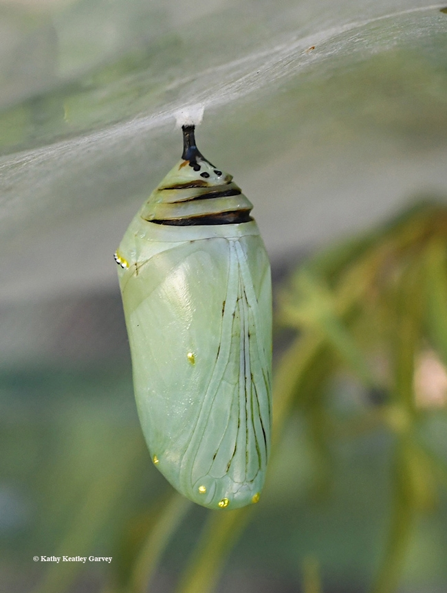 A monarch chrysalis that didn't make it. This image was taken Sept. 15. Said Art Shapiro of UC Davis: