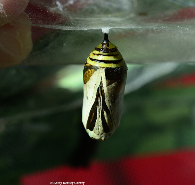 This is what the non-viable monarch chrysalis looked like on Oct. 10. (Photo by Kathy Keatley Garvey)