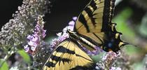 A Western tiger swallowtail (Papilio rutulus) nectaring on a butterfly bush (Buddleia davidii). (Photo by Kathy Keatley Garvey) for Bug Squad Blog