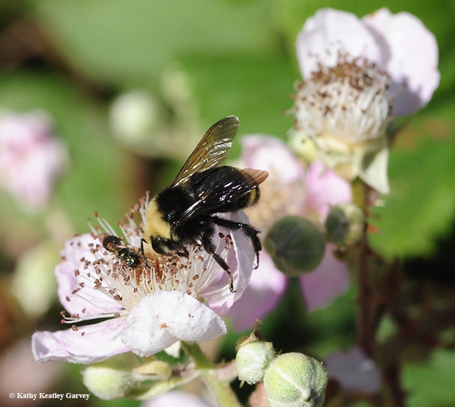 A bumble bee, Bombus vosnesenskii, nectaring on a blackberry blossom in Berkeley. (Photo by Kathy Keatley Garvey)