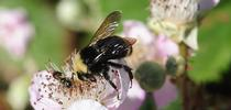 A bumble bee, Bombus vosnesenskii, nectaring on a blackberry blossom in Berkeley. (Photo by Kathy Keatley Garvey) for Bug Squad Blog
