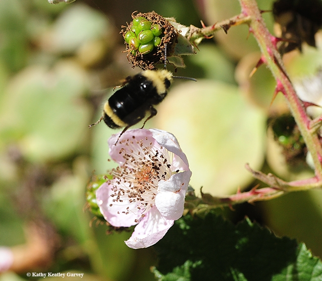 Taking flight, the yellow-faced bumble bee, Bombus vosnesenskii, seeks another blackberry blossom in Berkeley. (Photo by Kathy Keatley Garvey)