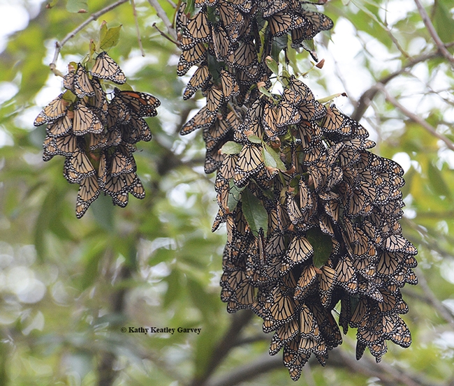 Overwintering monarchs in the Berkeley Aquatic Park on Nov. 26, 2015. (Photo by Kathy Keatley Garvey)