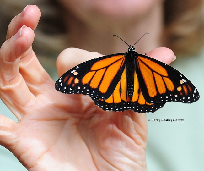 A relocated male monarch at Natural Bridges State Park, Santa Cruz. (Photo by Kathy Keatley Garvey)
