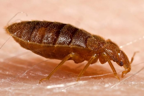 CLOSE-UP of bedbug.