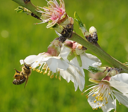 HONEY BEE pollinating an almond tree at the Harry H. Laidlaw Jr. Honey Bee Research Facility, University of California, Davis. (Photo by Kathy Keatley Garvey)