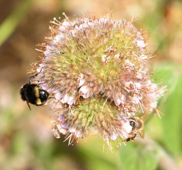 Phacelia californica was among the 43 plants tested. Here a bumble bee, Bombus vandykei, and a honey bee, Apis mellifera, share a blossom. (Photo by Kathy Keatley Garvey)