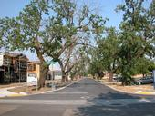 Dying Walnut Trees in Davis