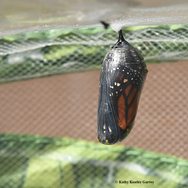 A monarch chrysalis hangs like an ornament. (Photo by Kathy Keatley Garvey)