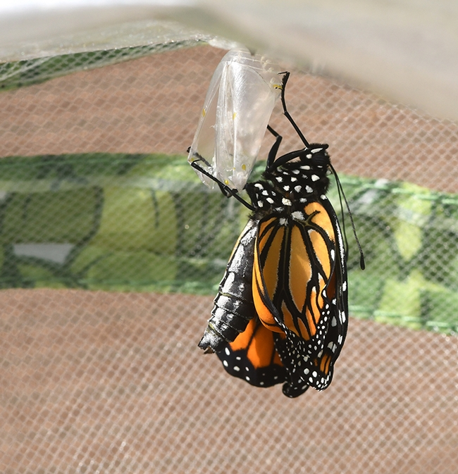 The monarch wiggles around and soon will dry its wings and take flight. (Photo by Kathy Keatley Garvey)