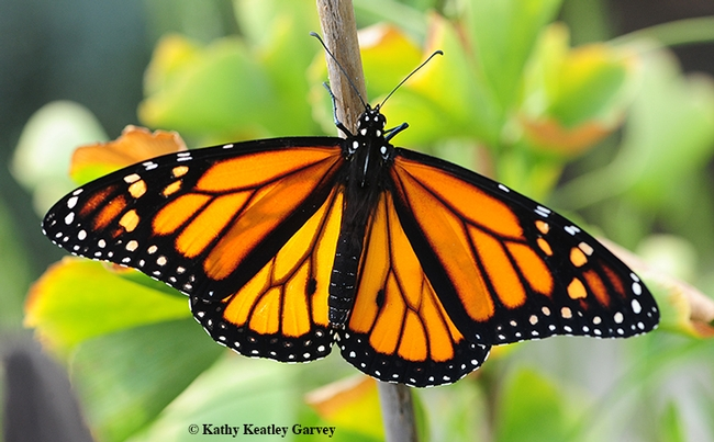 A male monarch spreads its wings. (Photo by Kathy Keatley Garvey)
