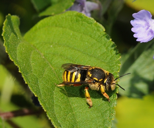 WOOL CARDER BEE removing fluff or down from a leaf to build its nest. (Photo by Kathy Keatley Garvey)
